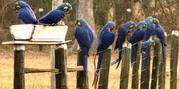 Talking Hyacinth Macaws For Sale